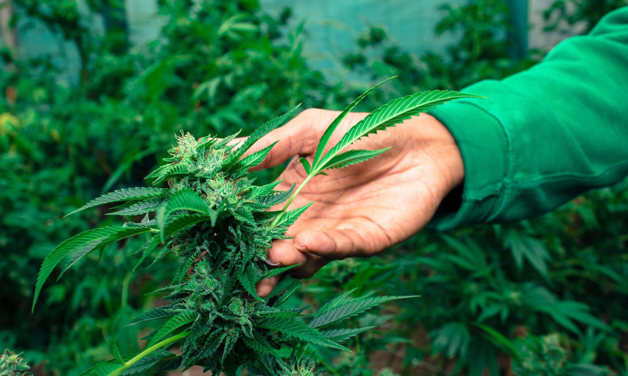 Kali Kushite Cannabis Culture